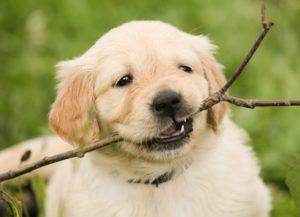 puppy-1189067_1920
