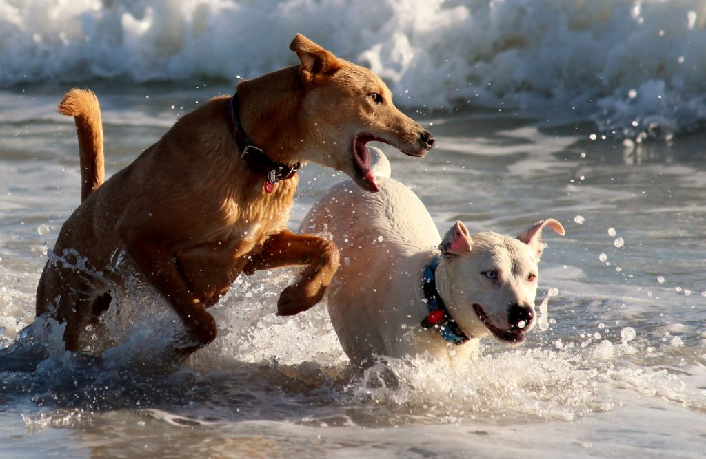 dogs-816989_1920