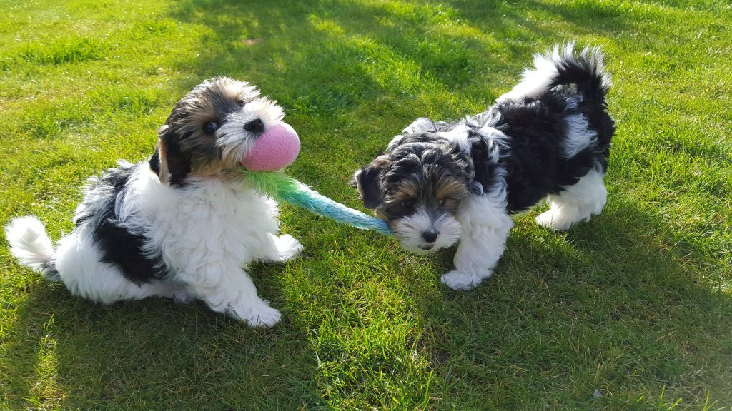 yorkshire-terrier-1734556_1920